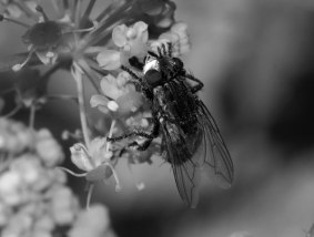 w magnifica fly